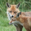 Foxes in the New Forest