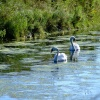 A pair of mute swans....cygnus olor