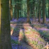Shadows in the bluebell wood
