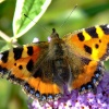 Small tortoiseshell butterfly.......aglais urticae
