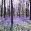 Bluebells, Angmering Park Estate near Warningcamp