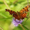 Butterfly, Rushbeds Wood, Wotton Underwood, Bucks