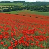 Poppy Fields at Luddesdown