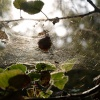 Cobweb in the sun, Ivinghoe Common / Ridgeway, Ringshall, Herts