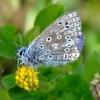Common blue butterfly....polyommatus icarus