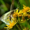 Hoverfly and small white butterfly