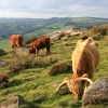 Cattle on Baslow Edge