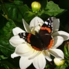 A Red Admiral