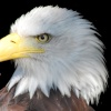 Bald Eagle at Banham Zoo