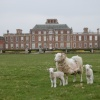 Wimpole Hall and Sheep
