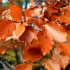 Beech Leaves.