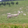 Ugbrooke Sheep