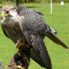 Audley End House  (Hawk)