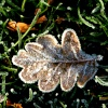 Frosty leaf at Nidd.