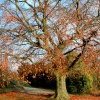 Autumn Beech Tree at Nidd.