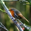 A Robin in Hawthorn Wood