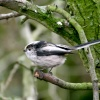 Long Tail Tit