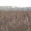 Winter Reed Beds