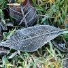 An ice covered leaf near Hawthorn Wood.
