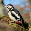Spotted Woodpecker on a log