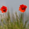 Poppies at Calshot Beach