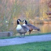 Canada geese on a chilly Suffolk morning