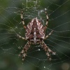 The Female Cross Spider