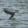A Cormorant lands on the Tyne.