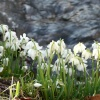 Snowdrops by the stream