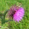 Thistle profile