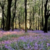 Bluebells at Silverwood