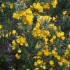 Dartmoor Gorse Bush
