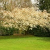 White Cherry in Sheringham Park Norfolk.
