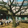 The old Oak tree in Midsummer Place