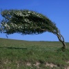 A dramatic tree at Cuckmere Haven