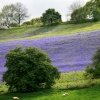 Bluebell Field, West Malvern