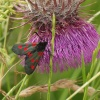 5 Spot Burnet Moth, White Horse Downs, Uffington, Oxon.
