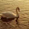Swan in evening light. Valentines Park.