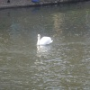 Swan on the Thames at Henley
