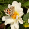 Painted Lady butterfly, Steeple Claydon allotments, Buckinghamshire
