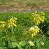 Cowslips in Peasonhall