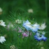Cornflowers at Trengwainton