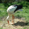 Stork and Eggs