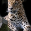 Leopard at Banham Zoo