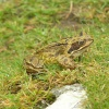 A frog at the Cheesewring on top of Bodmin Moor