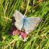 Chalkhill Blue (male) butterfly on the cliffs at Dover
