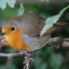Friendly robin at Arley near Bewdley