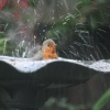 A Robin Bathing
