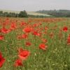 Poppies near Eynsford village, Kent