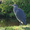 Heron on the river Wye Buxton